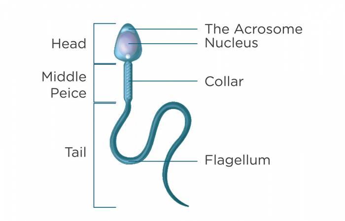 sperm-analysis